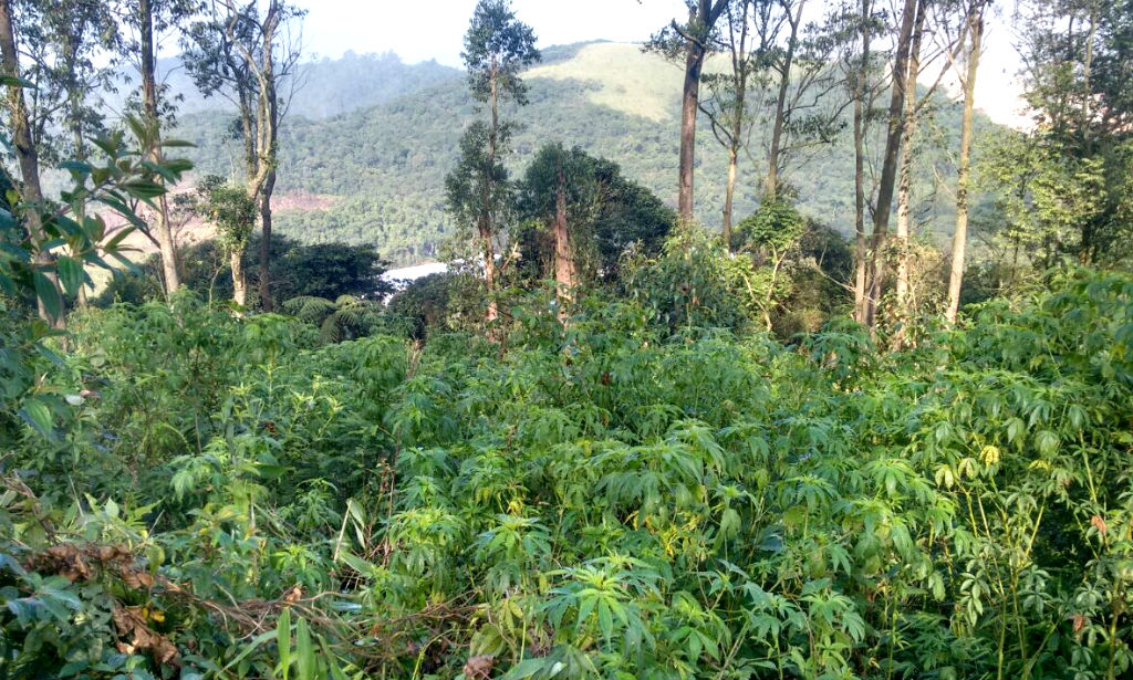 PM encontra 1 mil pés de maconha em Santo André